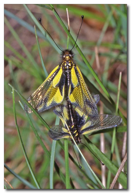 Libelloides latinus et coccajus (Planipennia, Ascalaphidae)