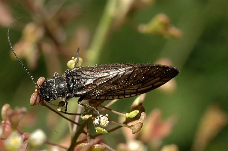Sialis sp. (cf. S. lutaria o S. fuliginosa) (Megaloptera)