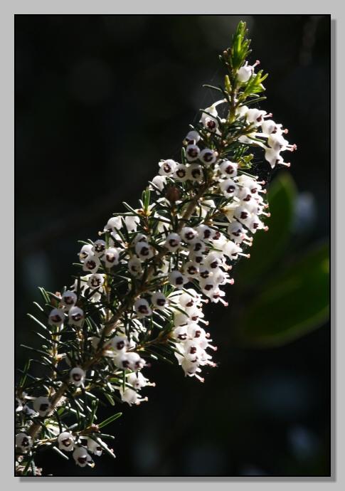 Gariga di Erica multiflora sui monti di Palermo