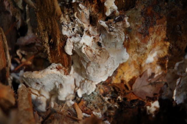 Una rara polyporacea: Parmastomyces mollissimus