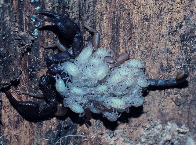 Mamma scorpione euscorpius flavicaudis forum natura - Scorpione e capricorno a letto ...