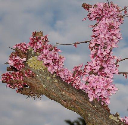 Una foto di un vecchio albero in fiore mi dite che albero è grazie a