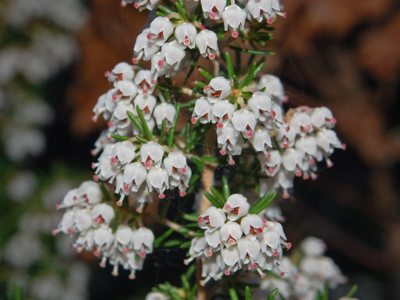 un arbusto fiorito erica arborea forum natura