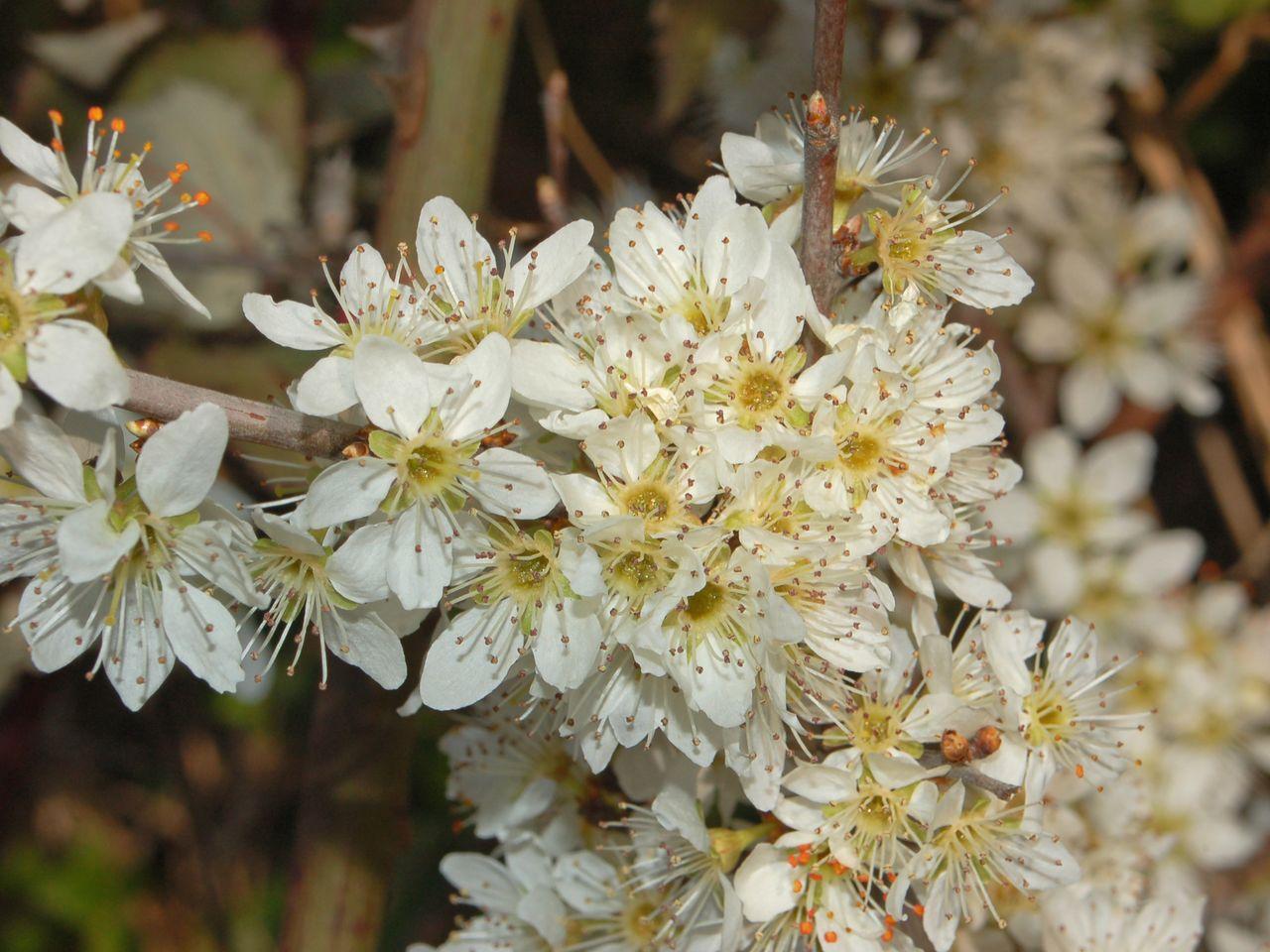 un arbusto dai fiori bianchi prunus spinosa forum natura