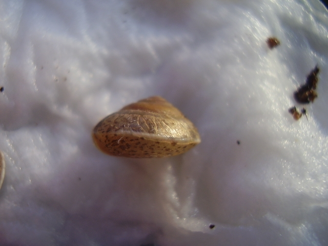 Hygromia cinctella