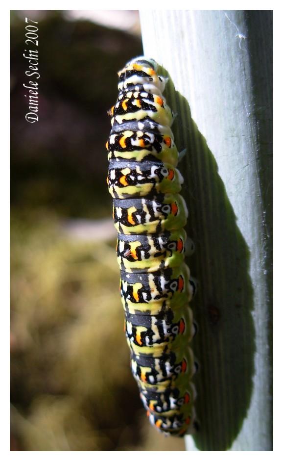 Papilio hospiton (Lep. Papilionidae)