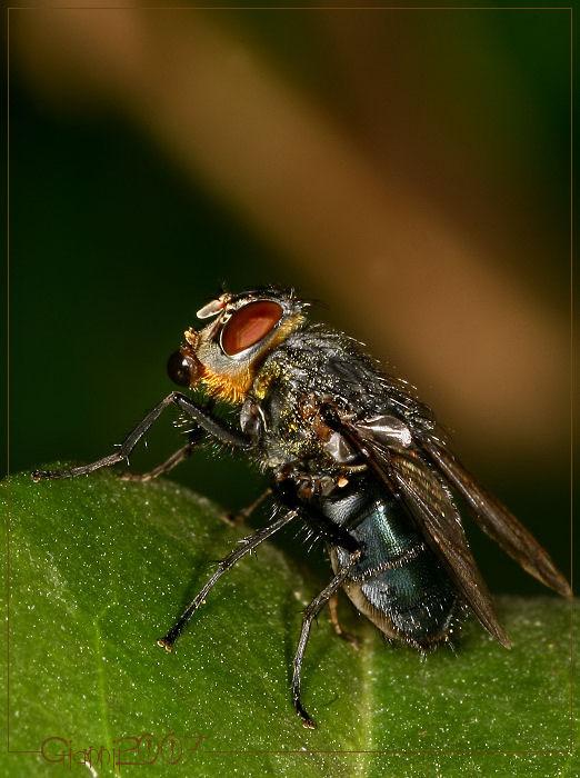 cosa fa questa mosca?