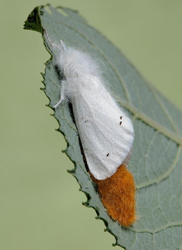 Deposizione con pelliccia: Euproctis chrysorrhoea
