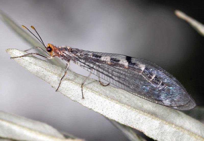 Formicaleone - Megistopus flavicornis