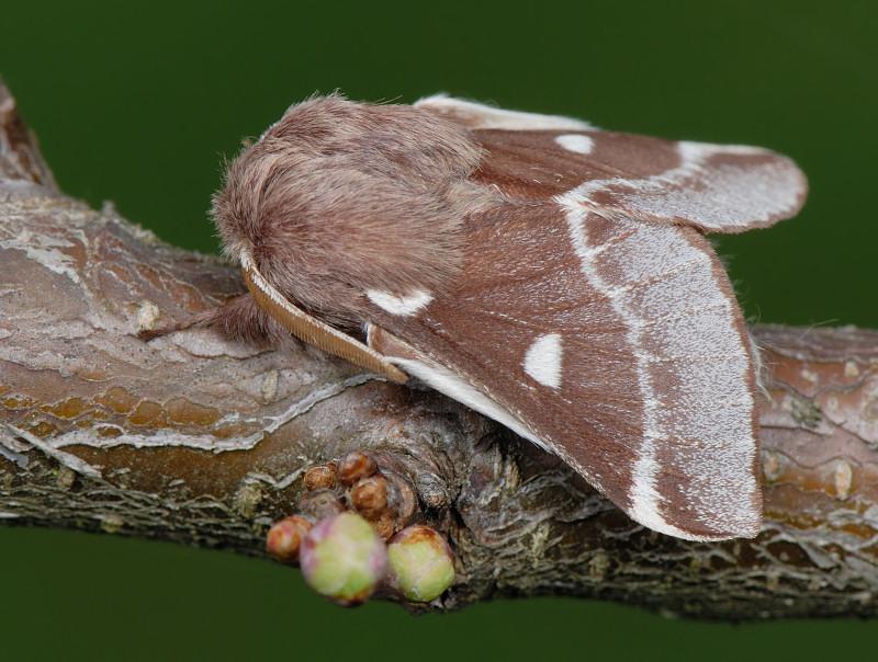 Eriogaster lanestris
