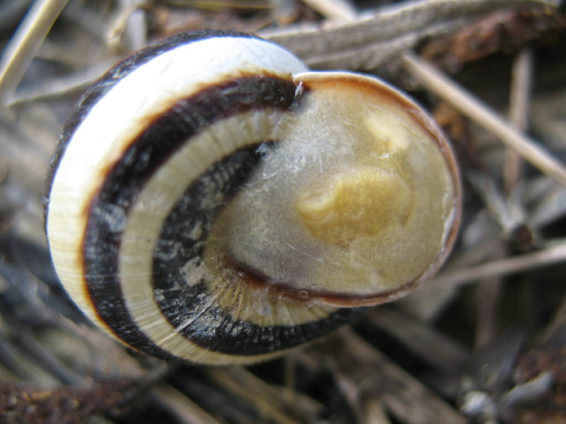 Cepaea (Cepaea) vindobonensis (Fèrussac, 1821) - (PN)