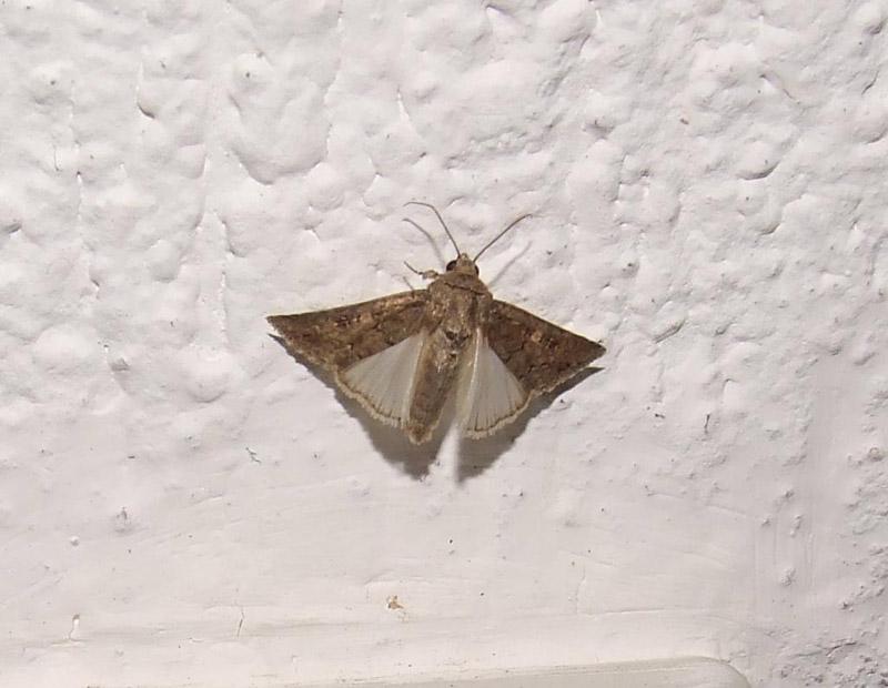 Farfalle di notte