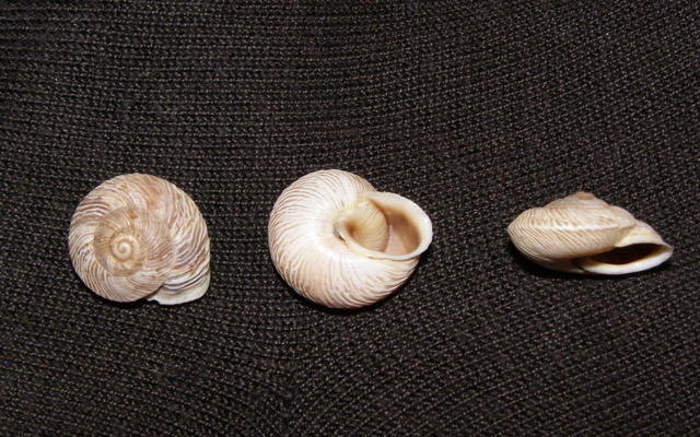 Marmorana (Murella) scabriuscula (Deshayes, 1830)