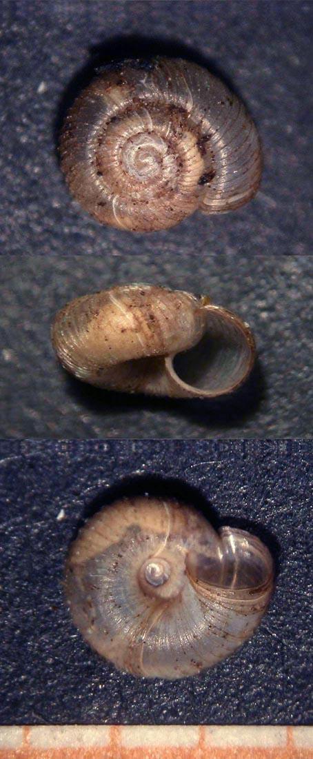 Gittenbergia sororcula (Benoit, 1857)