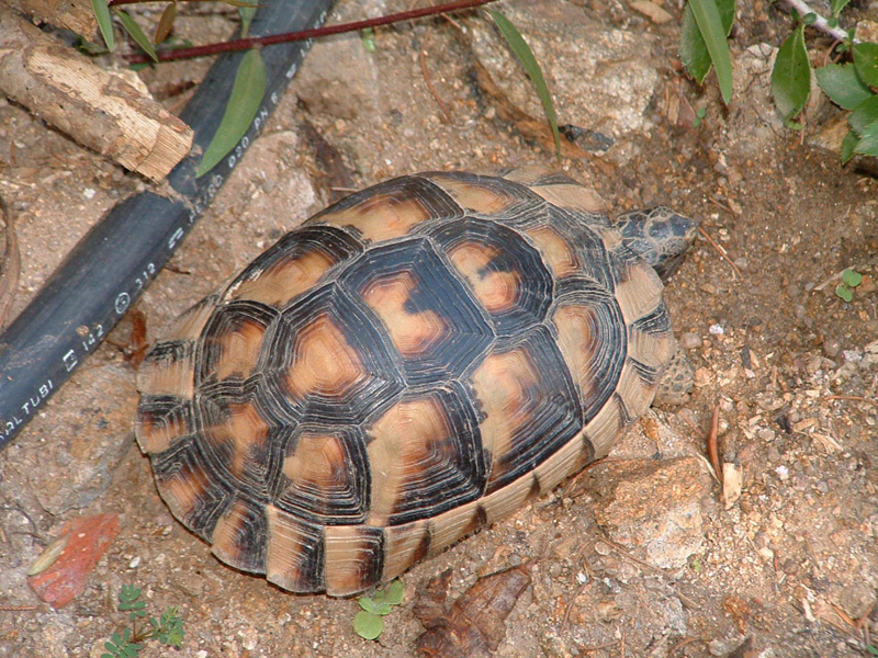 Testudo marginata sarda forum natura mediterraneo for Oggetti per tartarughe