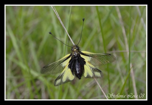 da identificare (Libelloides coccajus)