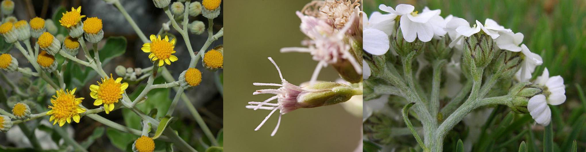 Famiglia ASTERACEAE e Genere Centaurea