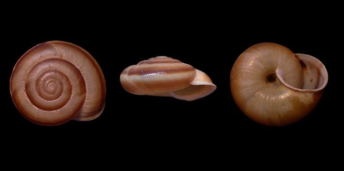 Chilostoma (Chilostoma) achates achates (Rossmässler, 1835)