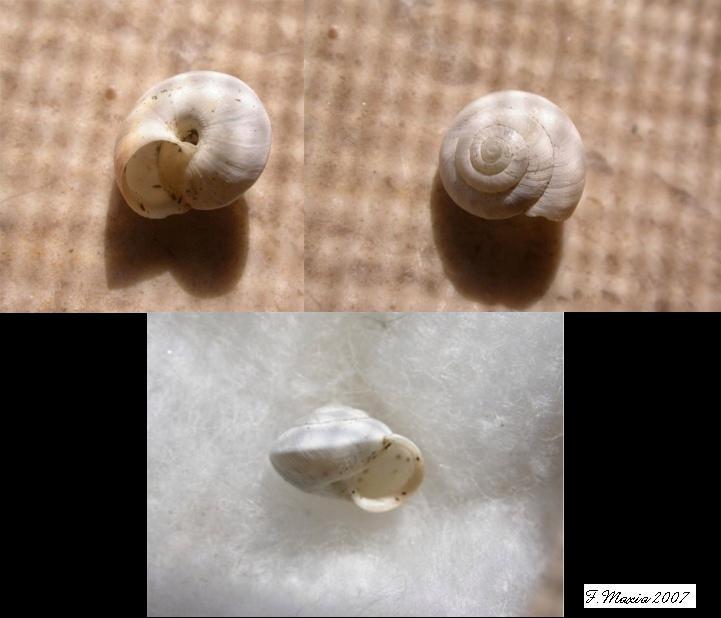 Un altro Hygromiidae