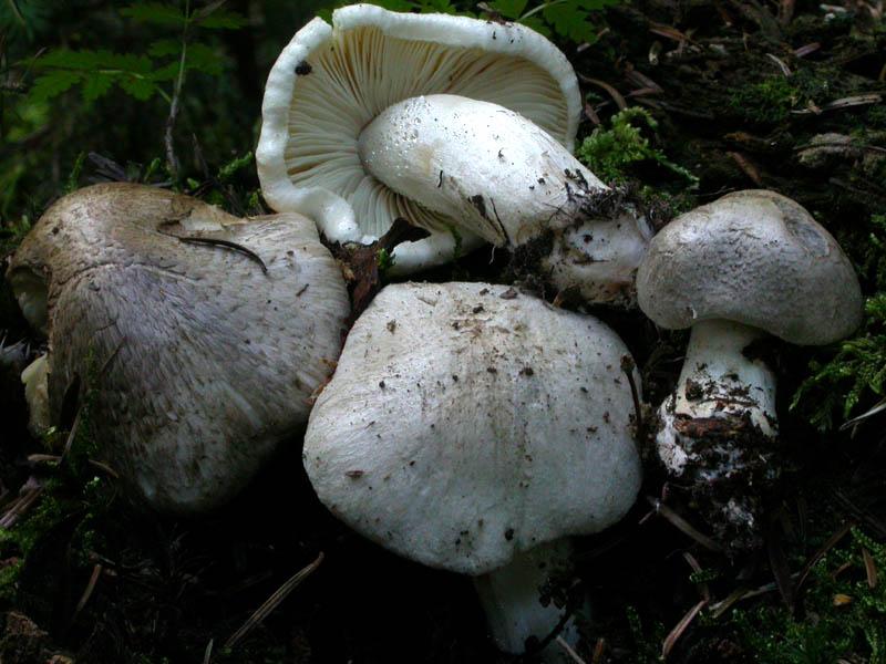 Tricholoma pardinum (Pers.) Quélet