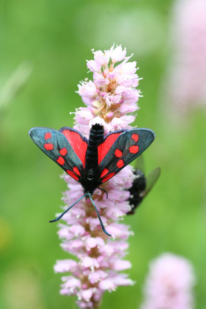 ancora farfalle