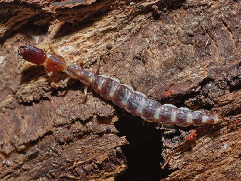 larve Rafidiotteri Parainocellia bicolor, Fibla machlachlani