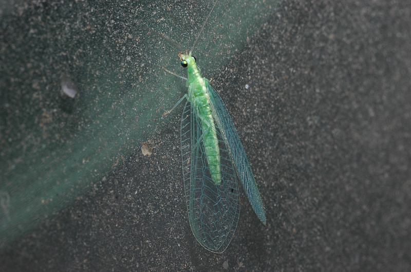 Chrysoperla carnea s. l. (Planipennia, Chrysopidae)