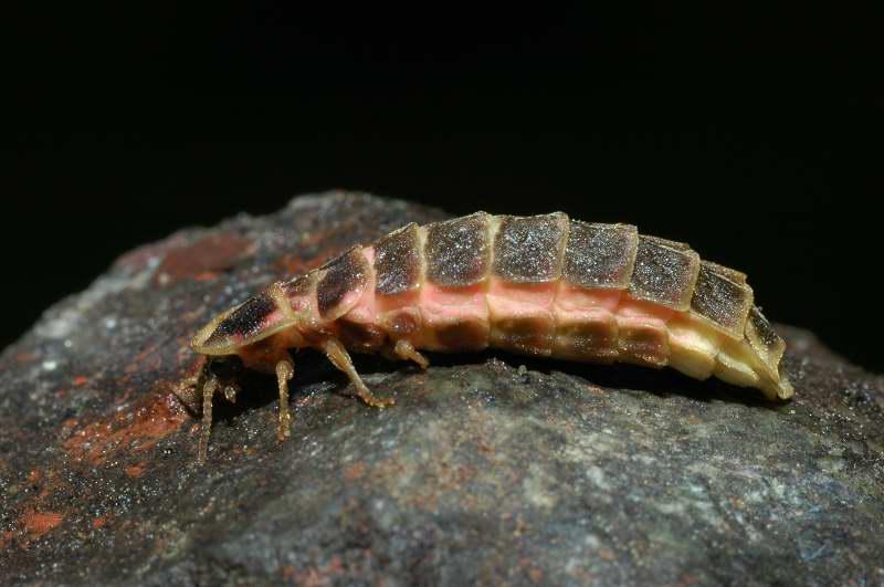 Lampyris noctiluca adulto femmina