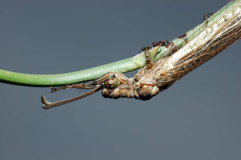 Formicaleone Creoleon lugdunensis
