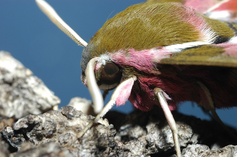 Hyles euphorbiae bruco