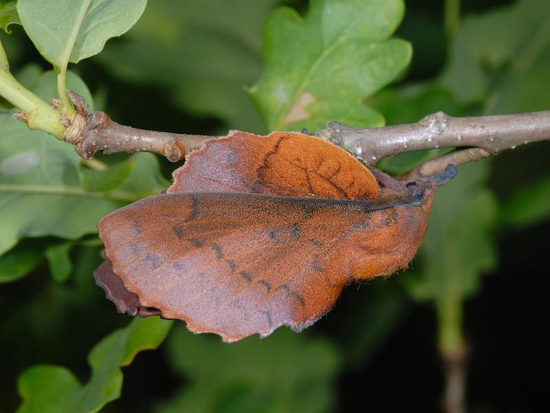 Gastropacha quercifolia (Lepidoptera Lasiocampidae)