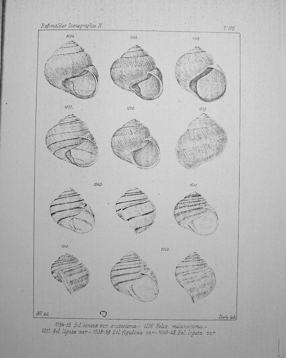 Variazioni in Helix ligata