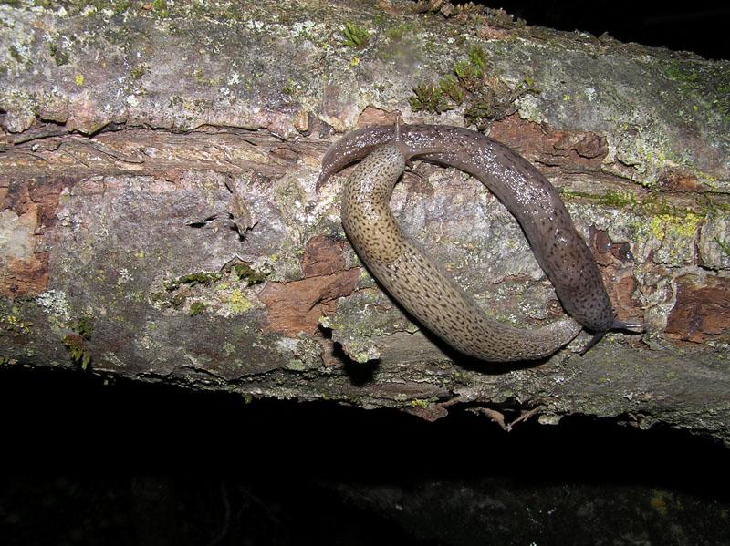 Un Limax cf millipunctatus da Lettomanoppello (PE)