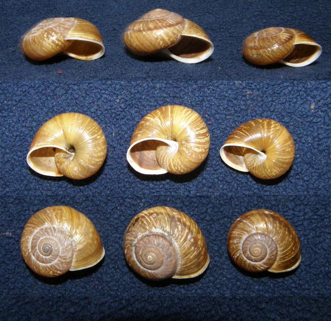 Arianta stenzii (Rossmässler, 1835) Pale di San Martino (TN)