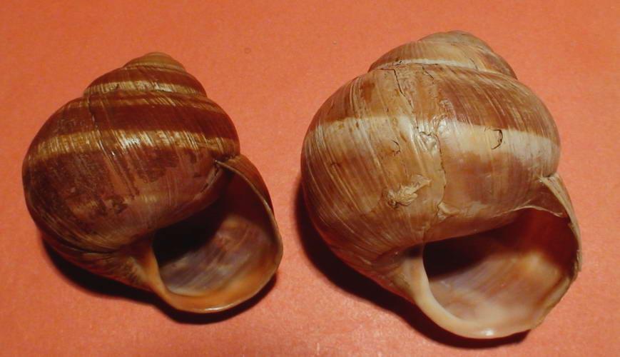 Helix (Helix) cincta O.F. Müller, 1774
