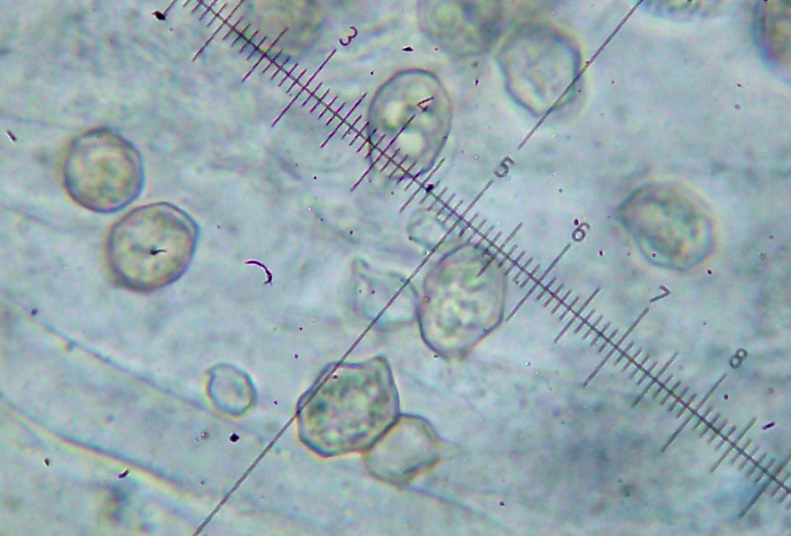 Entoloma neglectum