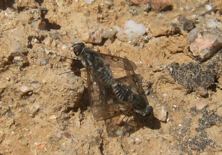 Nuove gallerie: insetti in accoppiamento