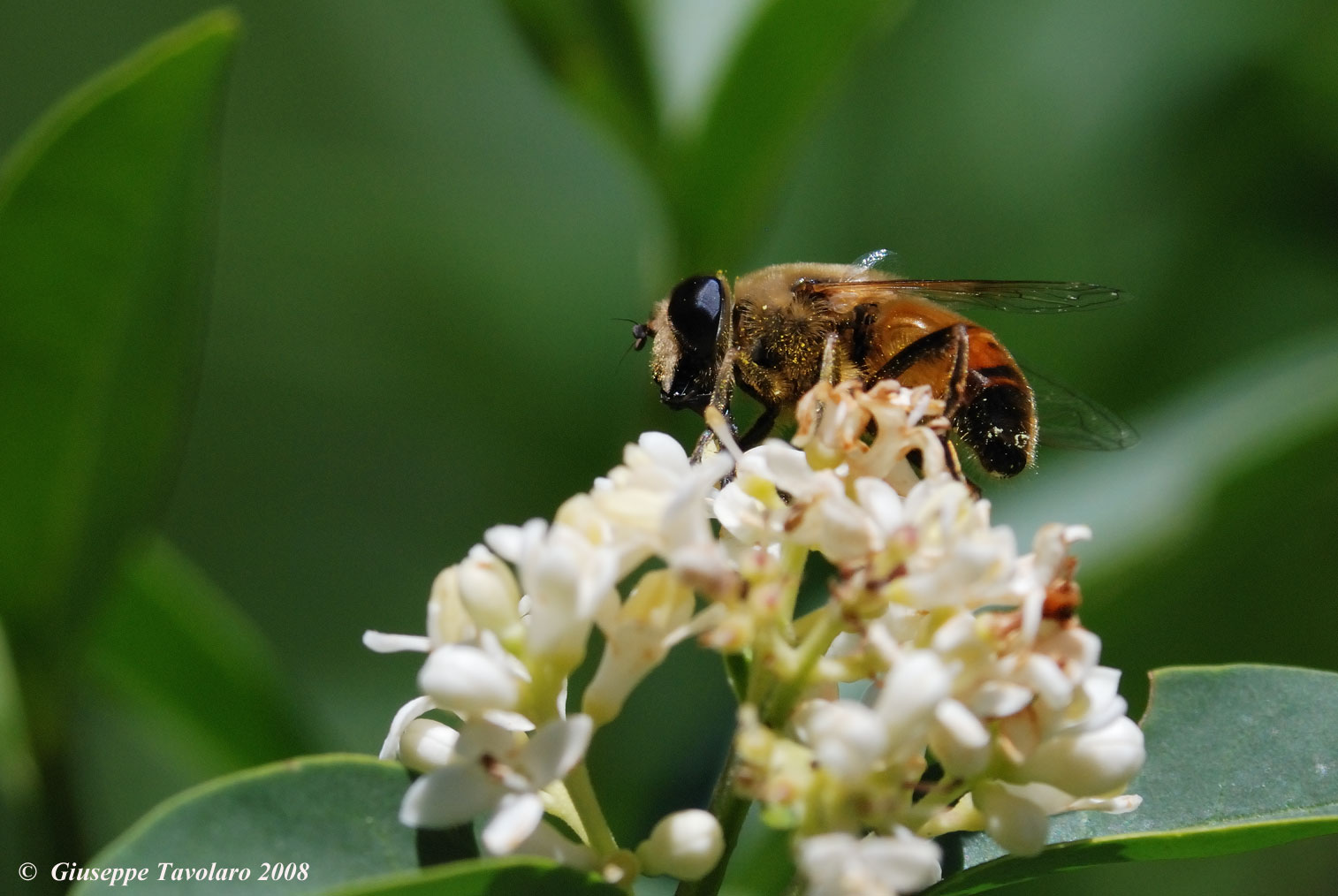 Ape e vespa su fiori.