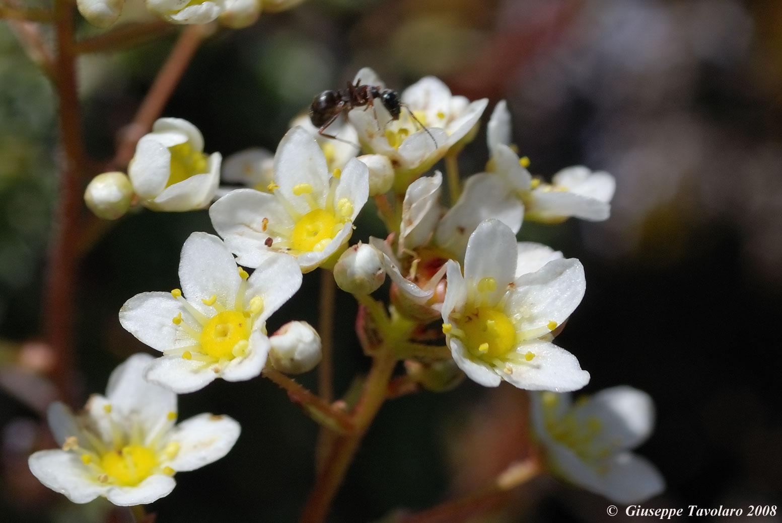 Formica su fiori.