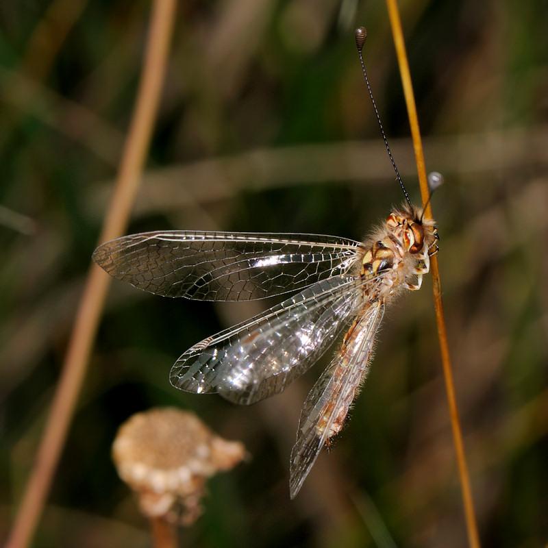 Deleproctophylla australis a Sperlonga (LT)