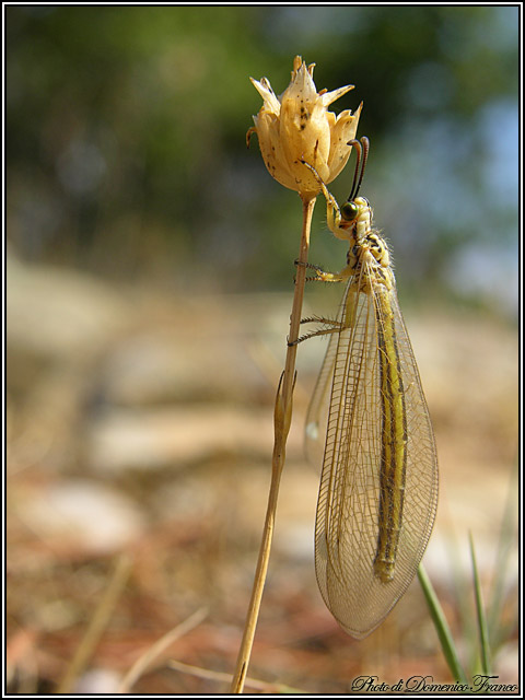 Macronemurus cfr. appendiculatus madonita