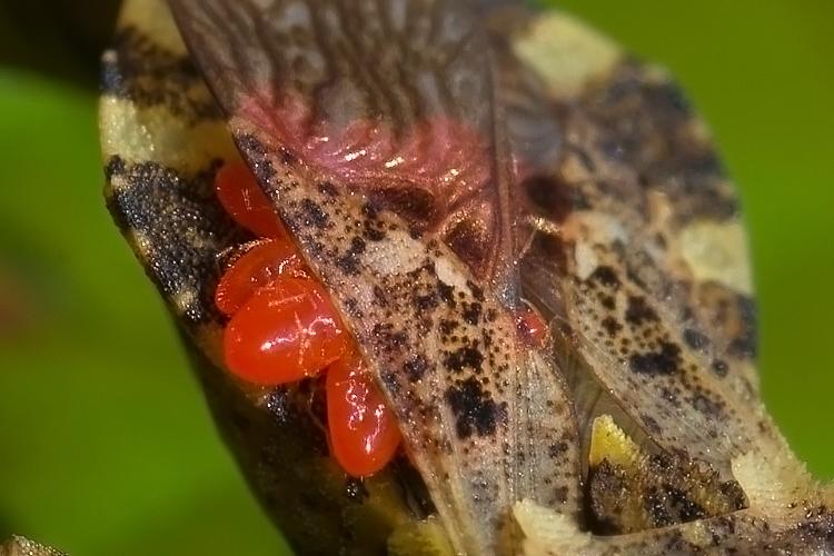 Acari parassiti di altri artropodi: archivio fotografico