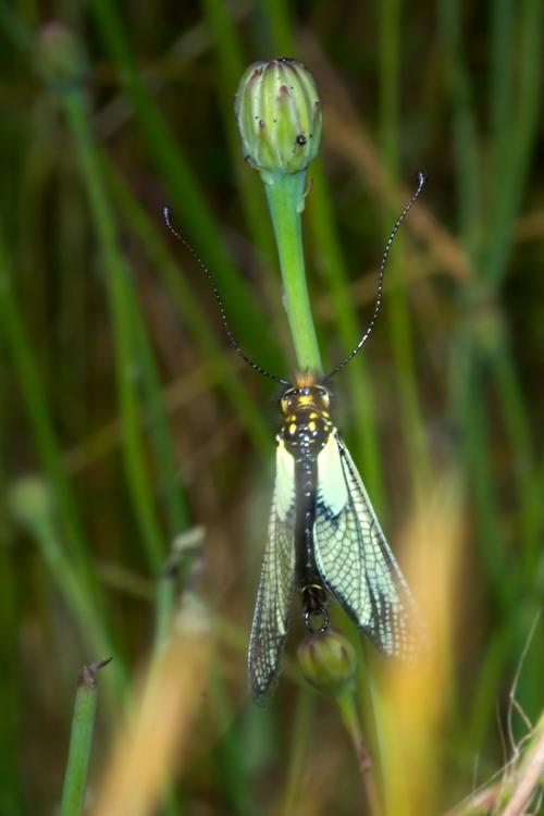 Libelloides latinus (Ascalaphidae): forma bianca