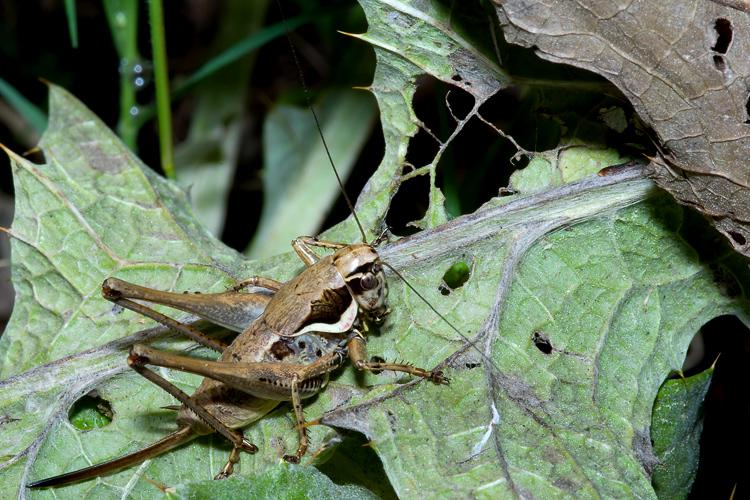 Tettigoniidae: Pholidoptera femorata