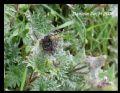 Aglaisurticae ichnusa